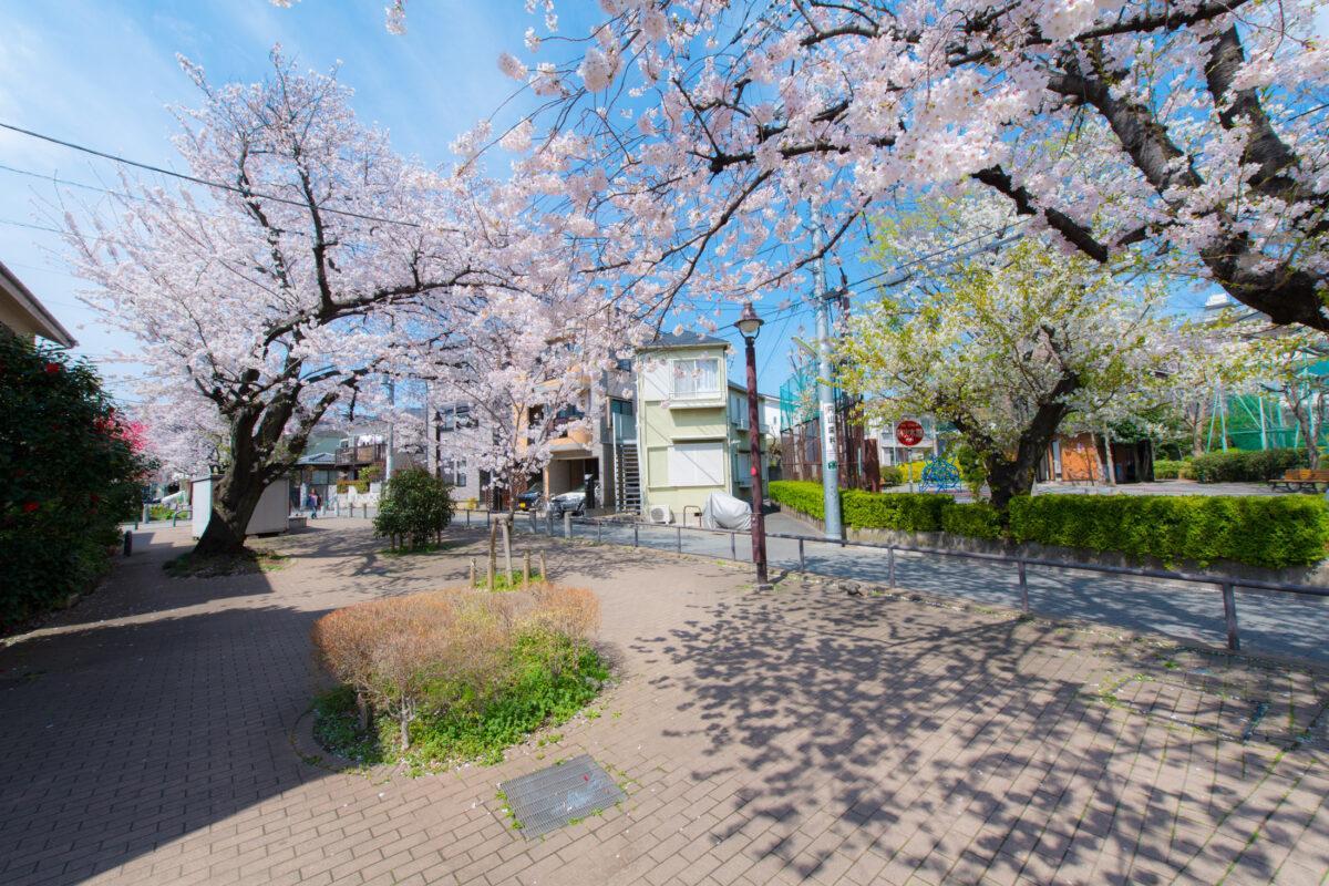 Sakura Shadows