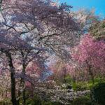 Yoshinoyama, The Cherry-blossom Mountain