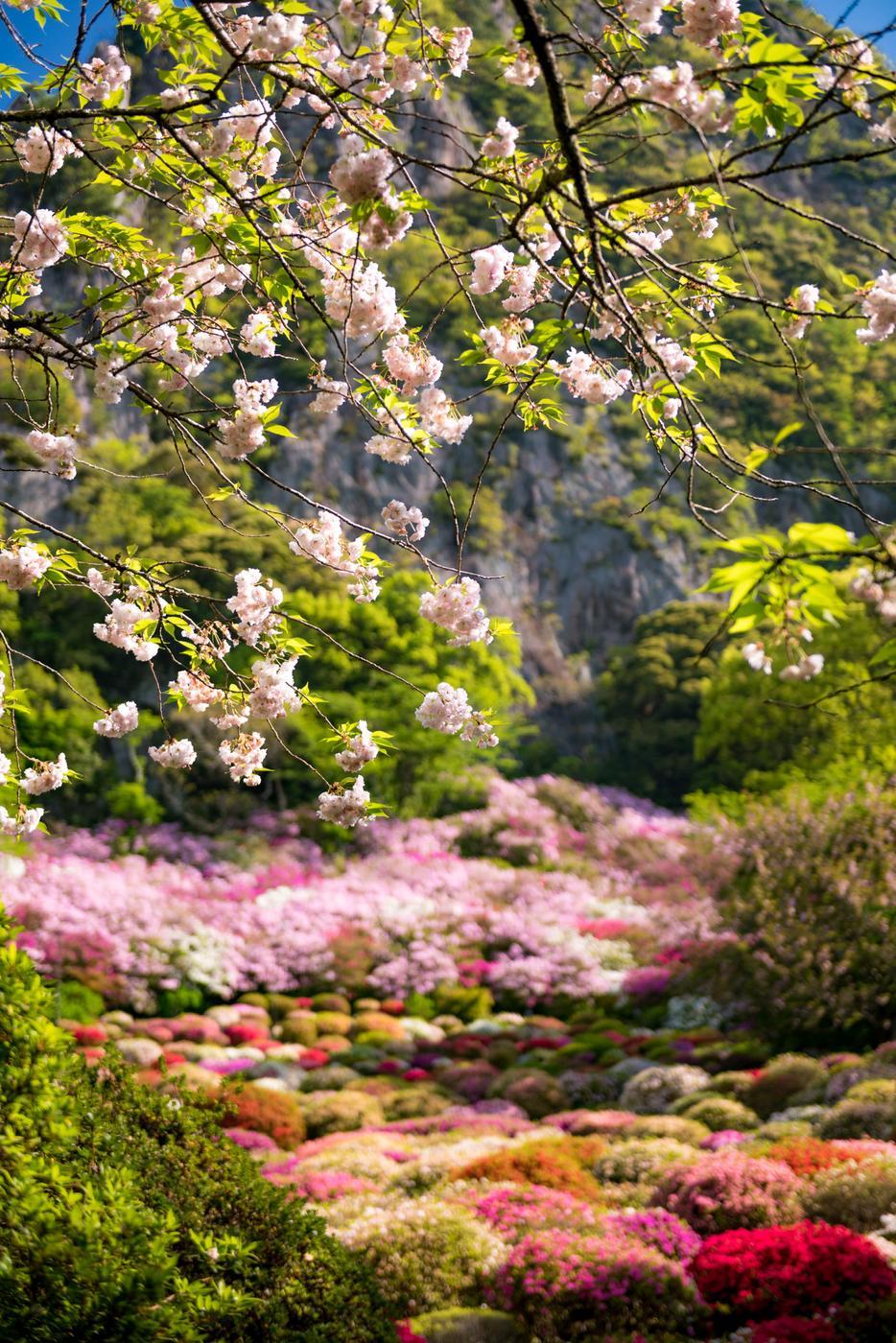 azalea, flower, japan, japanese, kyushu, natural, nature, saga, spring