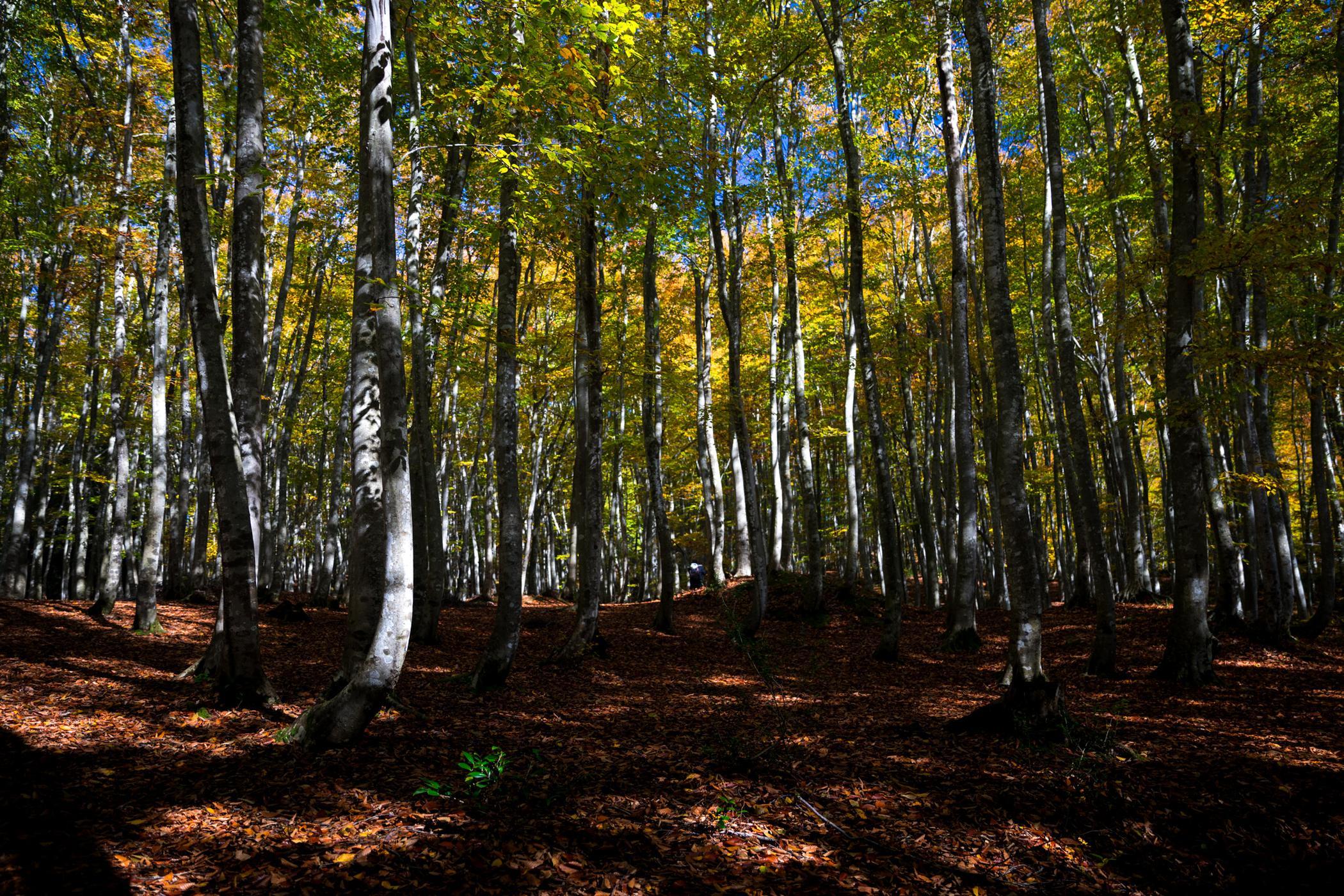 autumn, forest, natural, nature, tokamachi